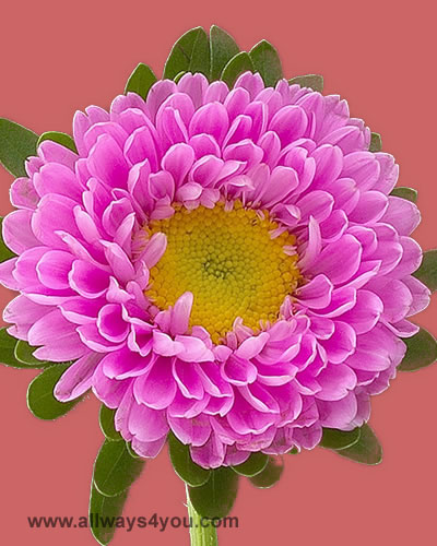 allwaysyou aster, Beautiful flower