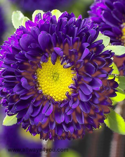 allwaysyou astermatsumotopurple flowers, Beautiful flower